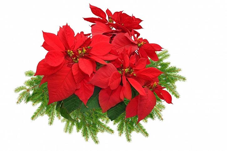 Vánoční hvězda je symbolem lásky, přátelství, odpuštění a poděkování (Zdroj: Depositphotos)