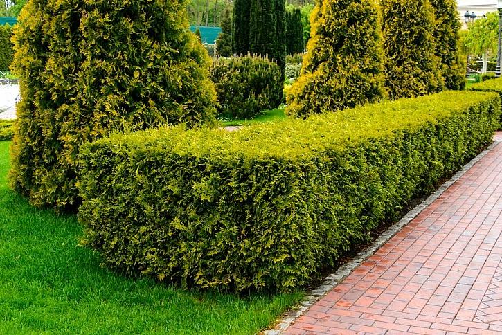 Letní střih živých plotů a okrasných keřů (Zdroj: Depositphotos)