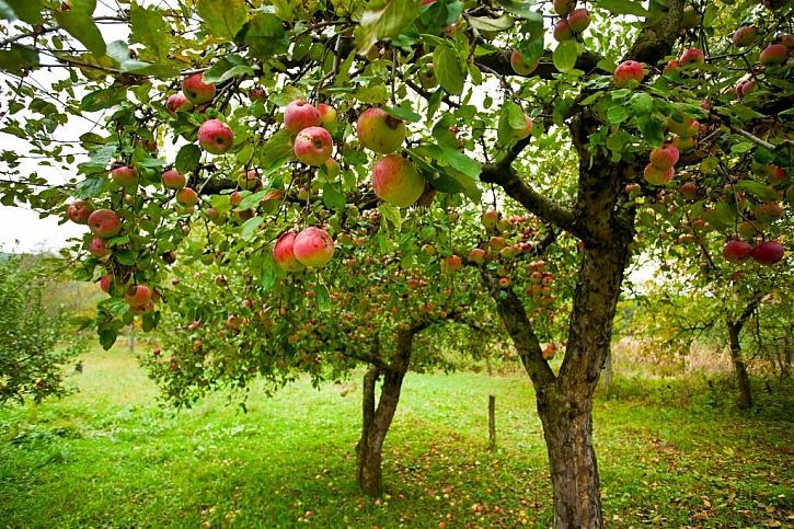 Ovocné stromy by na zahradě neměly chybět