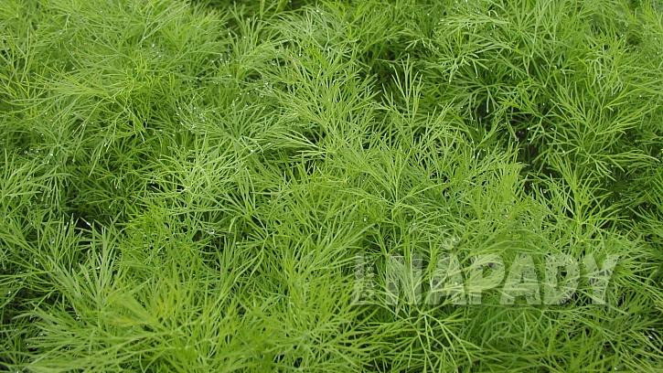 Kopr vonný je zelenina, koření i léčivka aneb I v srpnu ještě máme čas, abychom ho začali pěstovat  1