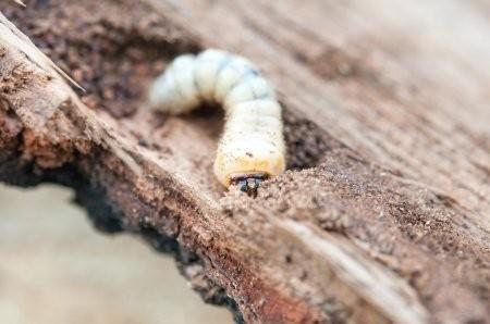 Larva červotoče v akci