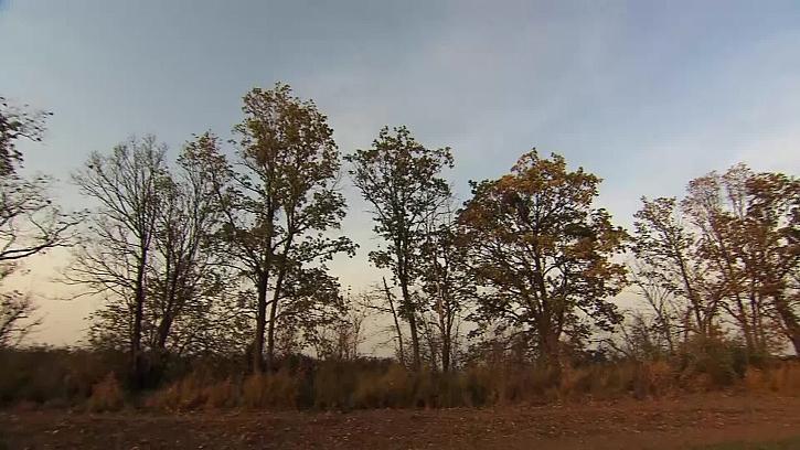 Vysazené listnaté stromy