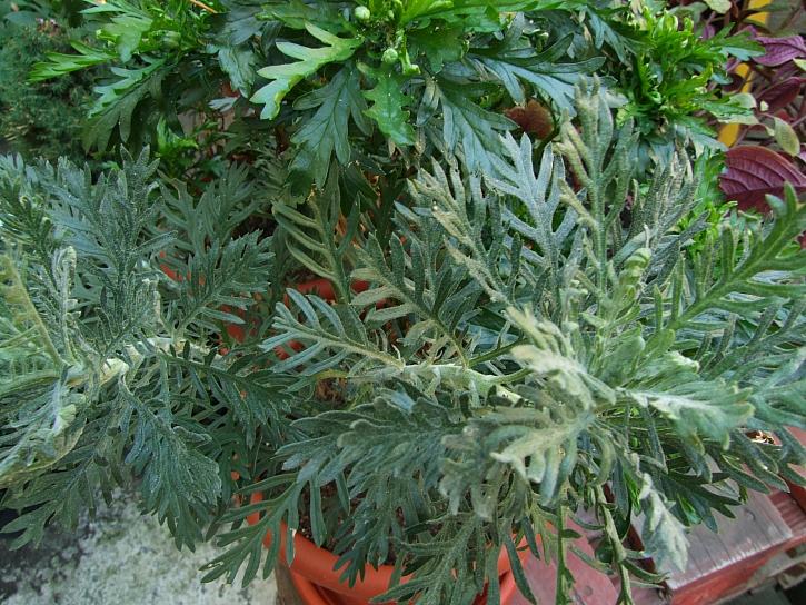 Jedlá chryzantéma