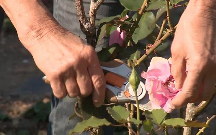 Příprava růží na zimu zastřiháváním