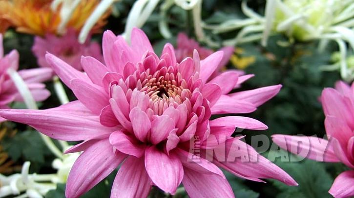 Předpověď počasí a zahrada: chryzantémy neboli listopadky (Chrysanthemum )