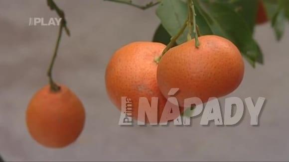 Jak zazimovat citrusy