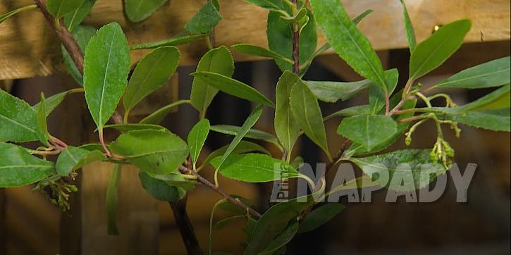 Arbutus unedo - jahodový stromek