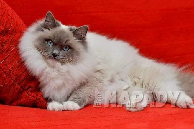 Kočka plemene Ragdoll, jeden z nejpřítulnějších a nejspolečenštějších domácích mazlíků 2