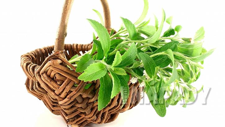 Stévie sladká (Stevia rebaudiana) pomáhá potlačit chutě na nikotin a alkohol