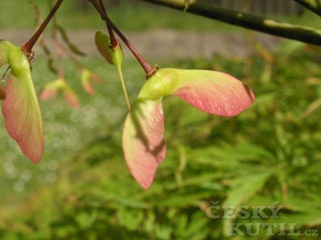 Javor dlanitolistý