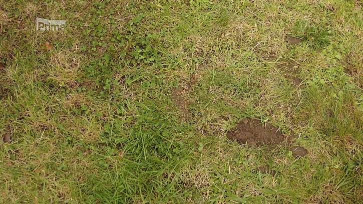 Cibuloviny, zasazené v trávníku.