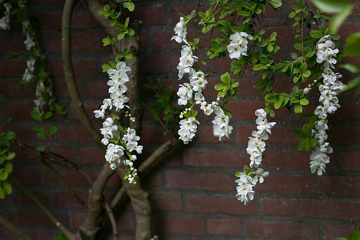 hroznovec- detail kvetu