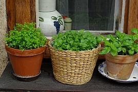 Koriandr zpestří váš jídelníček, vypěstujte si ho třeba na balkóně