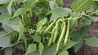 Jak zaručeně přitáhnete děti k zahradničení: Vsaďte na fazole!