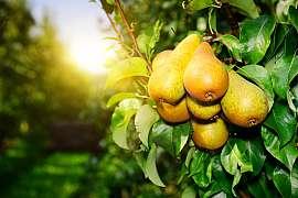 Houbové choroby jsou postrachem nejen u ovocných stromů, vyžeňte je ze zahrady pryč
