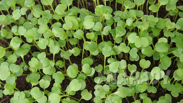 Jak vypěstovat čerstvou zeleninu v lednu: roketa setá (Eruca sativa)