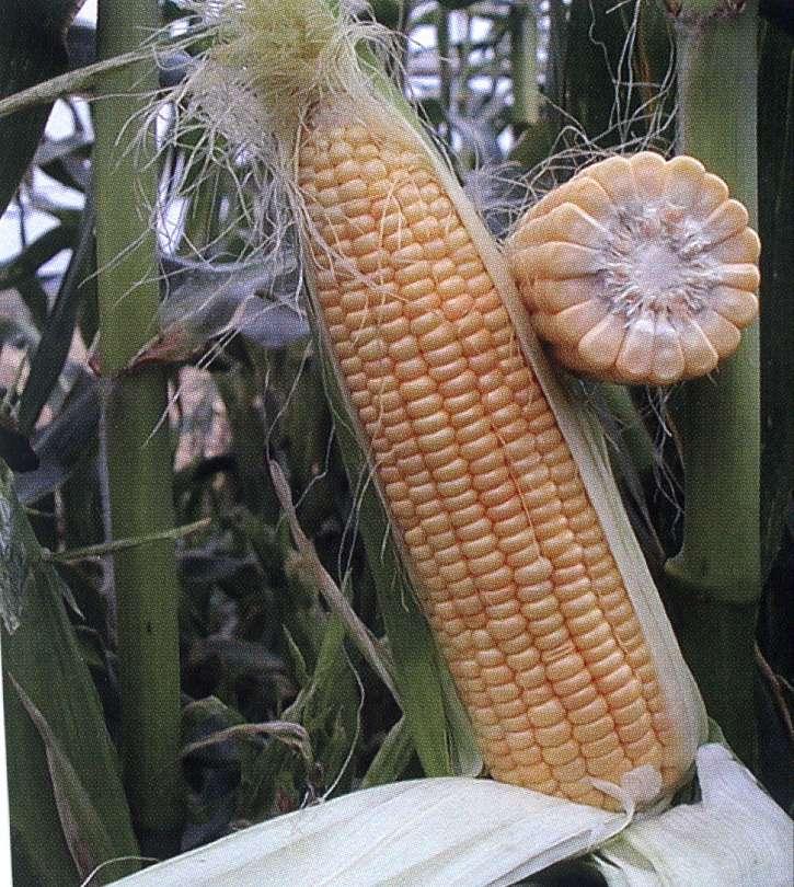 Kukuřice Agnes F1