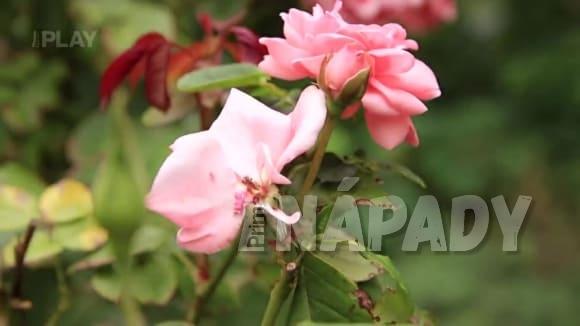 Podzimní ošetření růží, škůdci