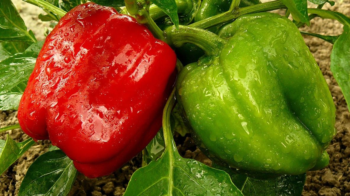 Jak pěstovat zeleninu pro labužníky: Paprika zelená, žlutá, červená, sladká i pálivá