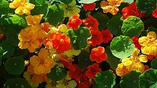 Soutěž: Vypěstujte si jedlé květy lichořeřišnice