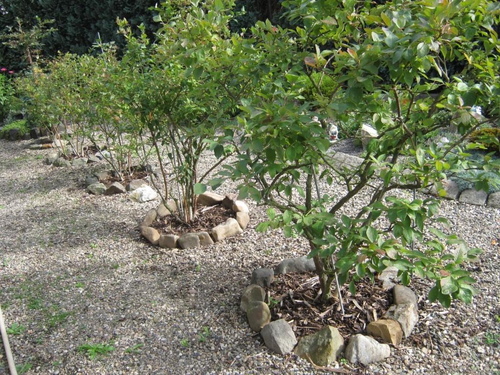 Výsadba, pěstování a hnojení kanadských borůvek