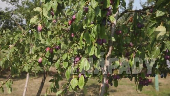 Roubování ovocných stromů