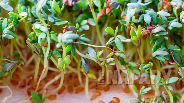 Řeřicha zahradní (Lepidium sativum): na první sklizeň se můžeme těšit už za 7 až 10 dní od výsevu