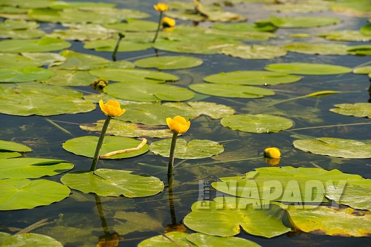 Stuhlík (Nuphar) je vytrvalá vodní bylina