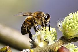 Včely na zahradě: Jak přilákat užitečný hmyz