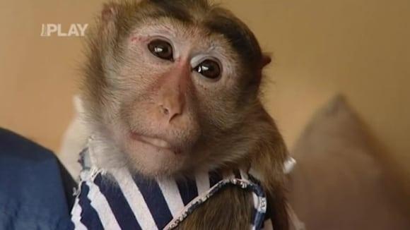 Opička jako domácí mazlíček