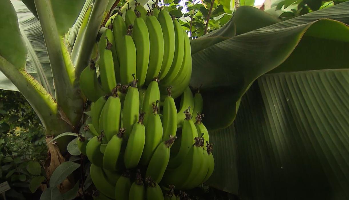 Banánovník jako pokojová rostlina: Vypěstujte si vlastní plody