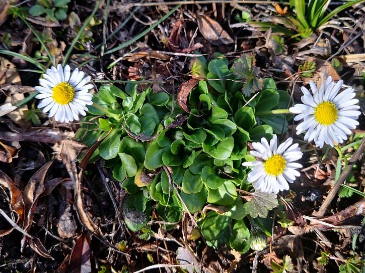 Sedmikráska kvete brzy, použít můžeme celou rostlinu
