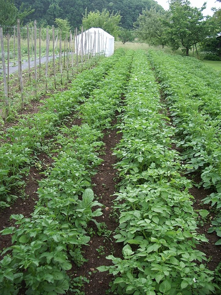 brambory-mlade rostliny