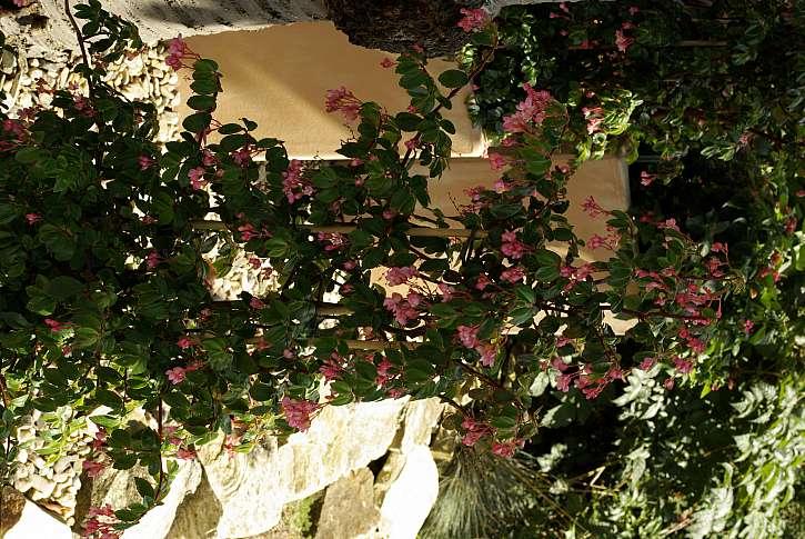 2 begonia fuchsioides je pozoruhodnou kvetinou pro stinna stanoviste