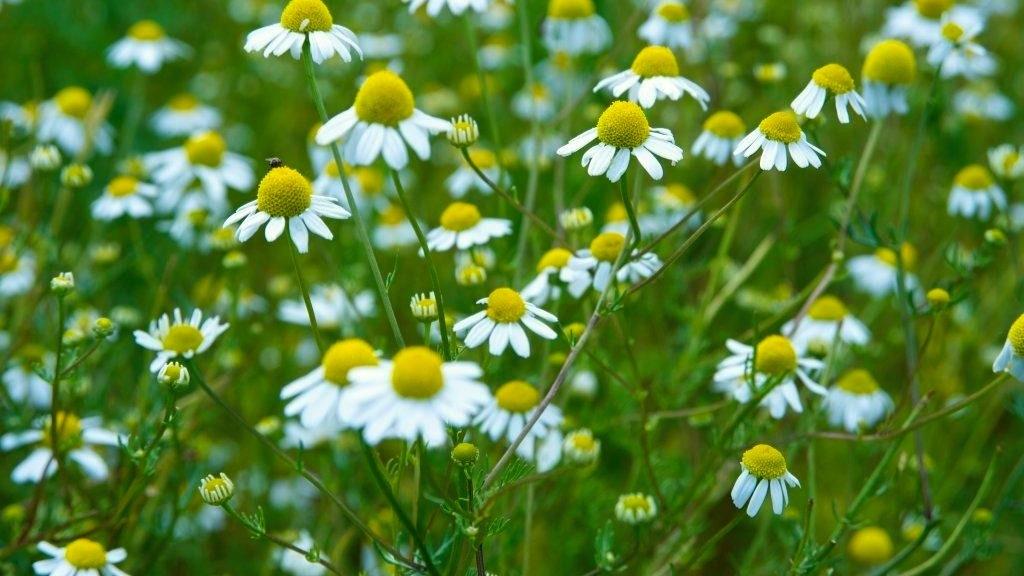 Starý dobrý heřmánek: Kouzelná bylinka, která dokáže každému více či méně pomoci