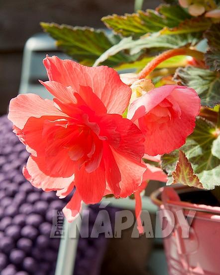 Begonia, kultivar Cascade odorosa Sweet Pink