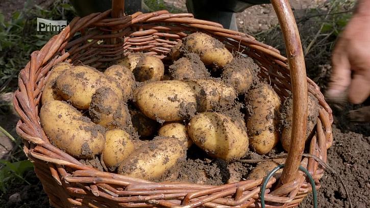 Víte, že je nejvyšší čas na vybírání brambor? (Zdroj: Jak snadno vybrat a uskladnit brambory)