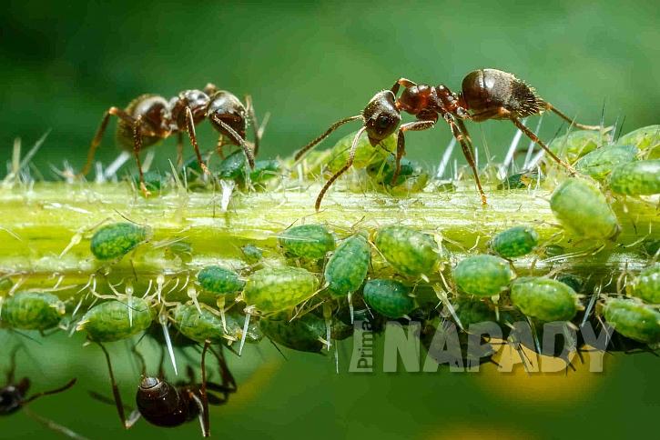 symbióza mravenců a mšic