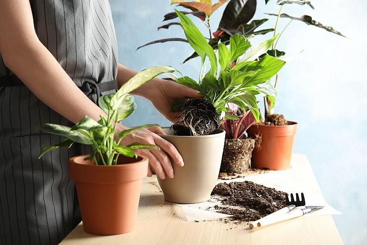 Přesazovní rostlin