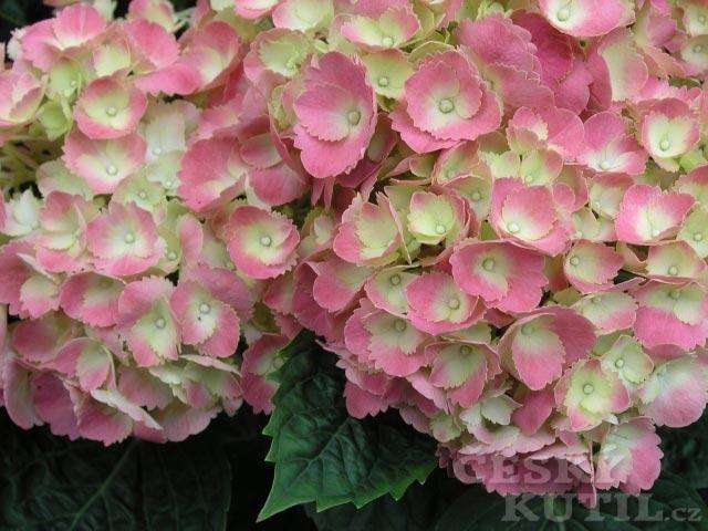 Hortenzie velkolistá (h. zahradní)