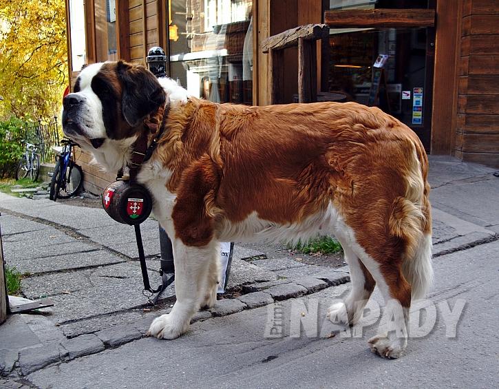 Bernardýn je obří plemeno psa