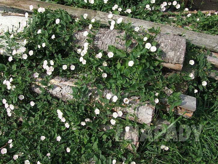Svlačec rolní je jeden z mnoha plevelů (Zdroj: Ludmila Dušková)