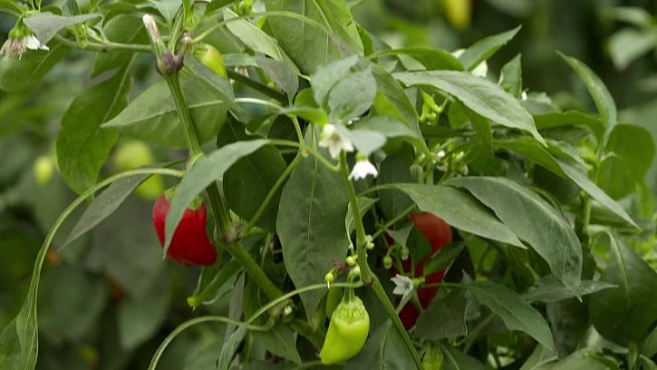 Jak úspěšně pěstovat papriky
