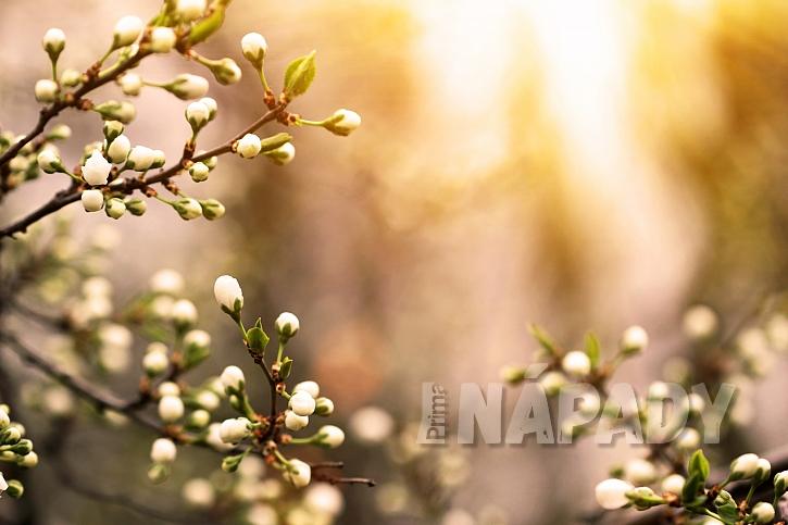 Kvetoucí švestka