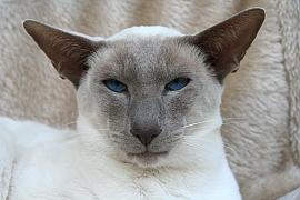 Siamská kočka: Inteligentní kočka spsí náturou