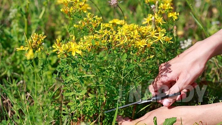 Třezalka tečkovaná: sbírají se nedřevnaté, asi 15 cm dlouhé vrcholky kvetoucí rostliny
