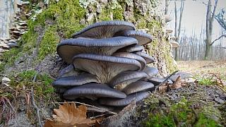 Výprava do lesa za adventními houbami: Na vánočního kubu to stačí!