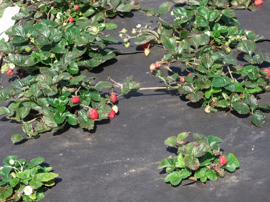 Je tu podzim a s ním i čas na sázení jahod, abyste pak na jaře měli zahradu plnou sladkých červených plodů jahod.