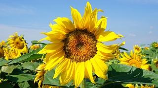 Jak a kdy se pustit do slunečnic: Líbí se vám víc obři, nebo spíš trpaslíci?