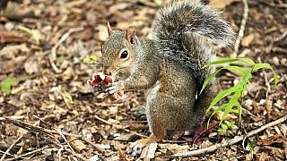 Jak se (ne)pozná jedlá houba: Nespoléhejte ani na veverku, ani na stříbrnou lžičku